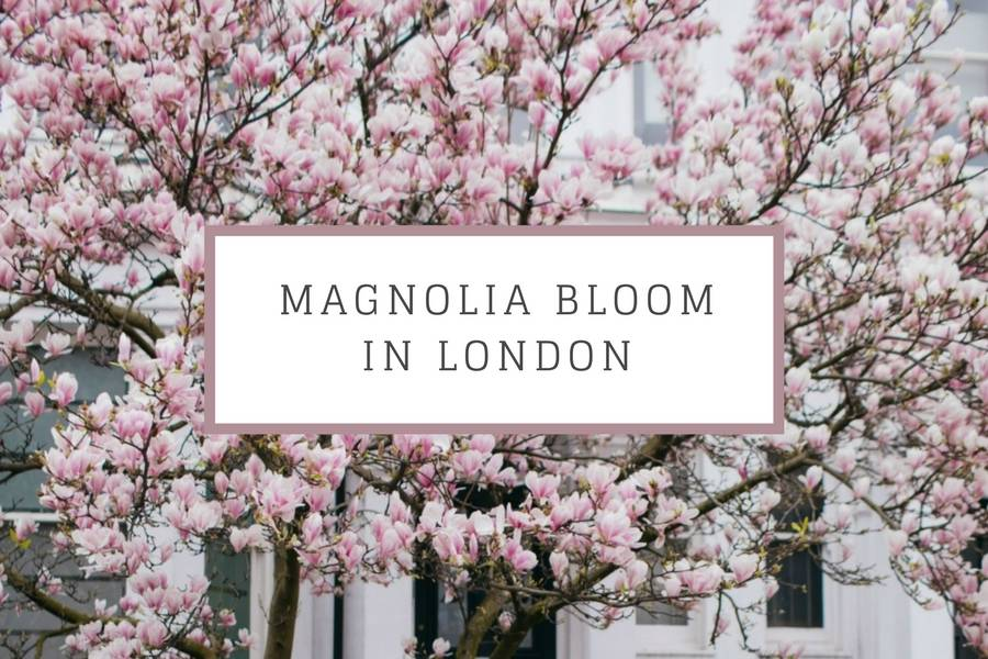 magnolia bloom in london blog ok but first coffee katya jackson